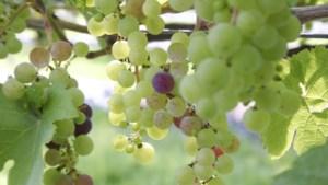 Kasteel decor voor eerste Montforter wijnfeest