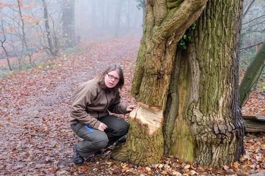 Honderd jaar oude klimop met hakbijl bewerkt: 'Wie doet zoiets?'