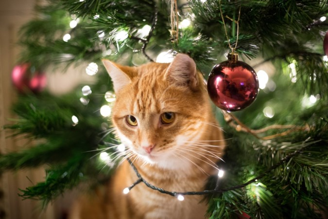 Kerstboom in huis gevaarlijk voor honden en katten