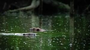 Beverdammen weggehaald vanwege vermeende schade aan bomen en vissen: 'Kan nu zelfs de natuur niet meer tegen de natuur?'