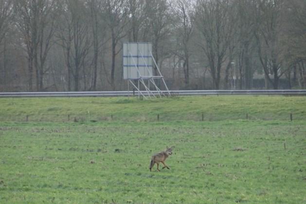 Heel bijzonder: wolf gespot in Limburg