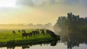 Zuivelgigant FrieslandCampina: steeds meer boeren laten koeien weer buiten grazen