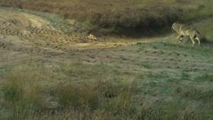 Wolf grijpt kangoeroe in België