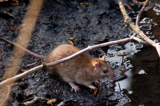 Etensresten gedumpt langs visvijver: omwonenden hebben last van ratten