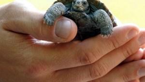 Honderden schildpadden dood door parasieten bij Mexicaanse kust