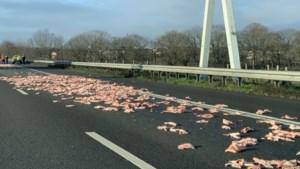 Varkenshuiden vallen uit truck op A67 bij Velden: weg weer vrij