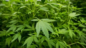 D66: hervorm drugsbeleid, want de strijd ertegen zit op een dood spoor