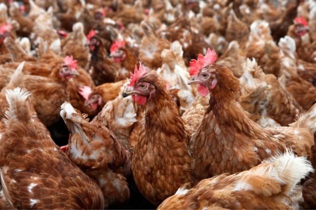 Landbouwminister: voorlopig geen ophokplicht wegens vogelgriep