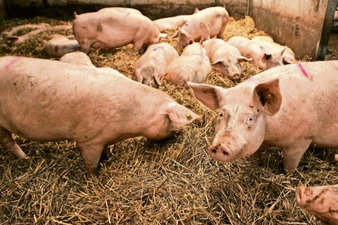 Veel Limburgse varkensboeren zijn het helemaal zat
