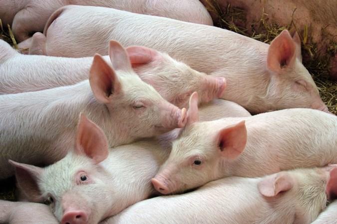 Limburg dringt aan op extra miljoenen voor sanering varkenshouders