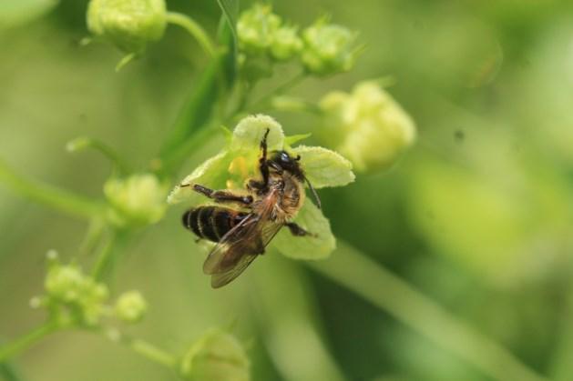 Ivo Raemakers geeft lezing over solitaire bijen
