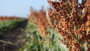 Project moet teelt en gebruik nieuwe gewassen in Limburg een impuls geven