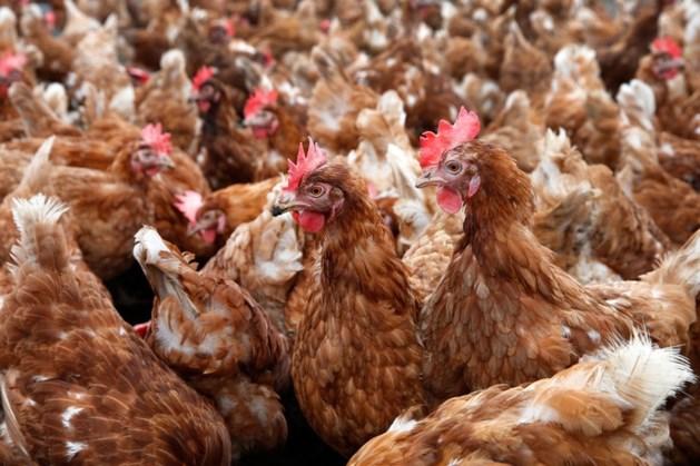 In heel Nederland ophokplicht voor pluimvee wegens vogelgriep