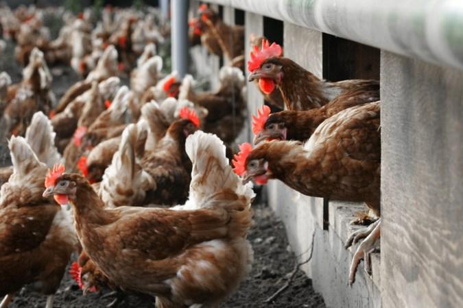 Ophokplicht moet onrust onder Limburgse pluimveehouders over vogelgriep wegnemen
