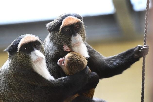Bijzondere geboorte in ZooParc Overloon: een kleine Brazzameerkat