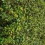 De buxusmot komende zomer weghouden? Plant vanaf nú de liguster