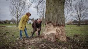Bever vreet populieren op in Roermonds natuurgebied Stadsweide