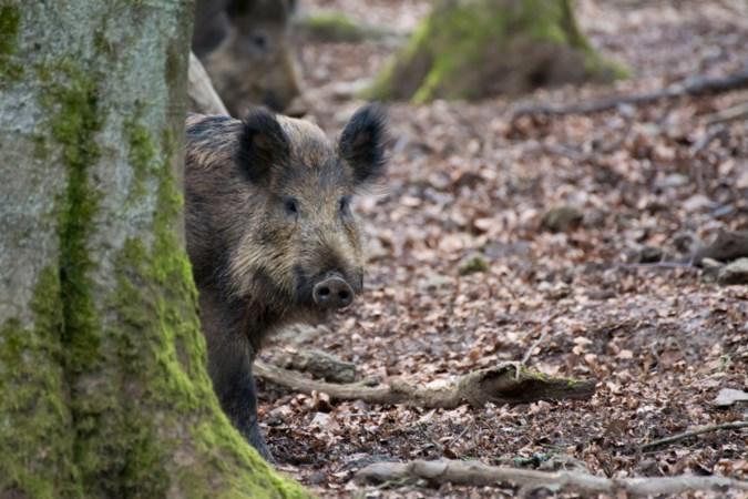 Limburg krijgt afschotvrij natuurgebied, maar wild zwijn afschieten mag wel