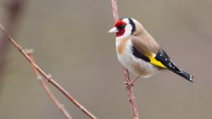 Verdachte handelaren inheemse vogels blijven ontkennen: 'We willen voorkomen dat de dieren verdwijnen'