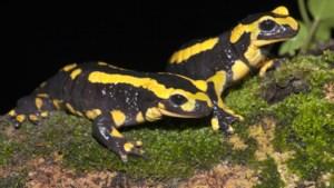 Onderzoek Bunderbos toont aan dat er hoop is voor de vuursalamander