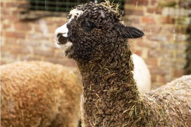 Alpaca Bickel uit Sweikhuizen gaat meedoen aan zijn eerste show