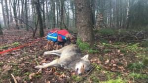Jonge wolf doodgereden bij Epe, boswachter vindt het dier bij een boom