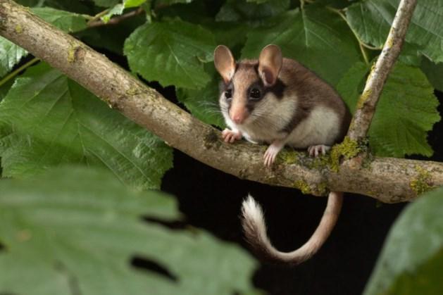 Het gaat niet goed met eikelmuis in Savelsbos
