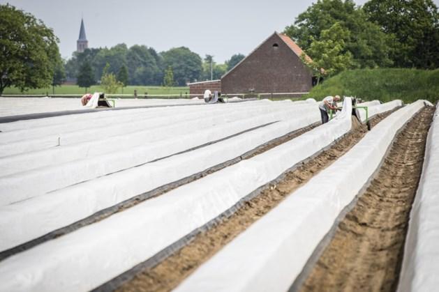 De meeste asperges komen nog altijd uit Limburg en Brabant