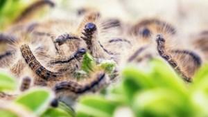 Jonge eikenprocessierupsen kruipen in april uit het ei