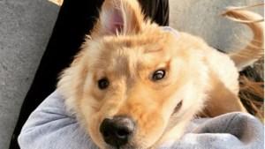 Schattig hondje met één oor boven op haar kop hit op Instagram