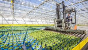 Glastuinbouw vreest dat er door corona te weinig handjes zijn voor de oogst van groente en fruit