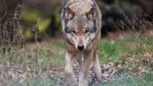 Onderzoek: wolf verantwoordelijk voor dode schapen in Bergen