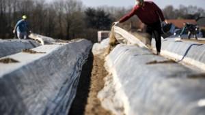 Seizoen van de waarheid voor Limburgse aspergetelers