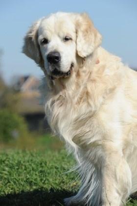 Golden retriever Bink uit Herten leidt puppies op tot geleidehond