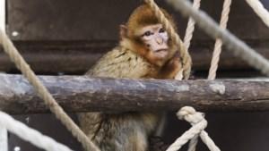 Dierentuinen op slot, dat is ook voor dieren wennen: 'Apen kijken net zo graag naar mensen als andersom'