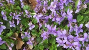Bosranden bezaaid met viooltjes: de verfkwast van de Heer of de voetstap van de godin?
