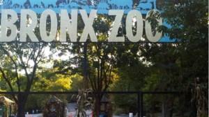 Tijger in dierentuin New York test positief op coronavirus