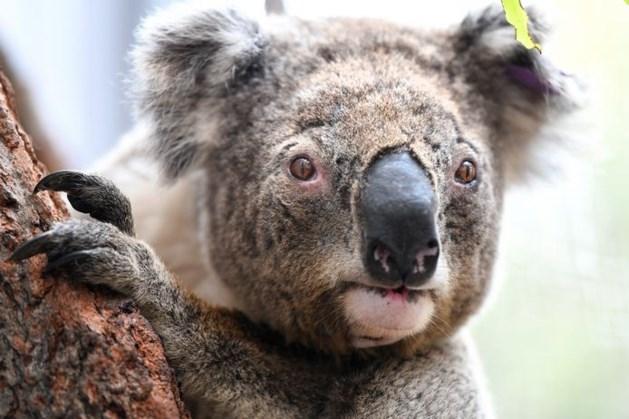 Koala's die gewond raakten tijdens bosbranden weer vrijgelaten in het wild