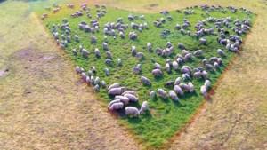 Venrayse herder laat schapen een hart onder de riem eten