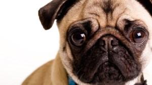 Verbod op fokken van honden met korte snuit