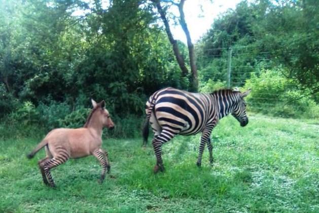 Geboren: een zezel, een zeldzame kruising tussen een zebra en een ezel