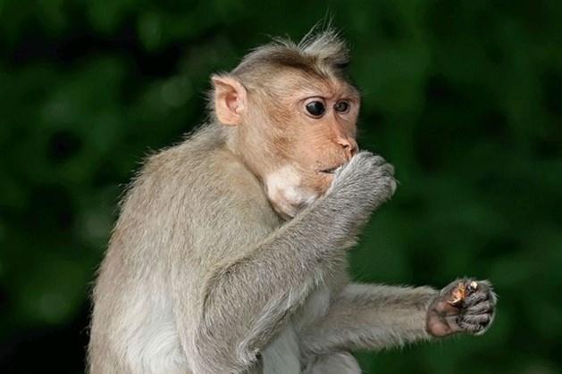 Nederlandse wetenschappers ontdekken: Java-apen inzetbaar in strijd tegen coronavirus