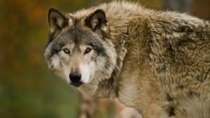 Wolf verantwoordelijk voor zes gedode schapen in Someren-Eind