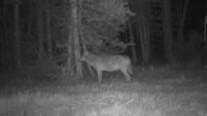 Belgisch-Limburgs wolvenpaar Noëlla en August verwacht welpen