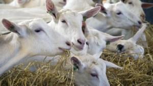 Geitensector in Limburg langer op slot