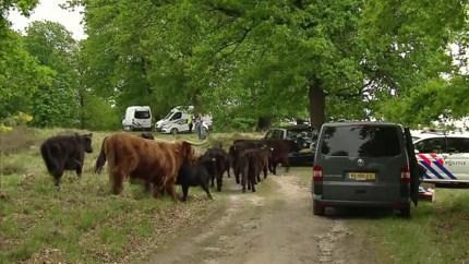 Video: Loslopende runderen hinderen politieonderzoek na vondst dode
