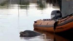 Nieuwe poging om dolfijn uit Amsterdamse haven weg te krijgen