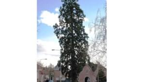 Markante boom Wessem dingt mee naar titel