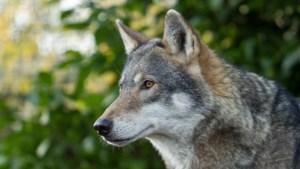 Volgevreten wolf aangezien voor zwanger dier