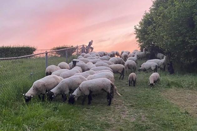 Nieuwe schapen Maastricht eten goed door